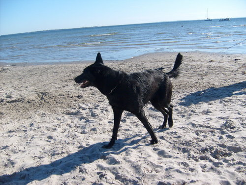 Alsatian on the plage