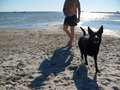 Alsatian on the Beach - german-shepherds wallpaper