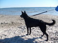 Alsatian on the Beach