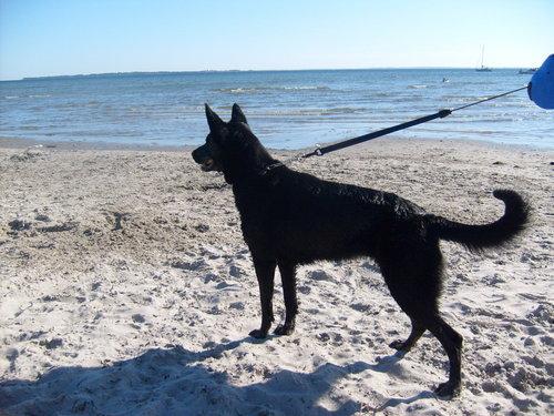 Alsatian on the pantai
