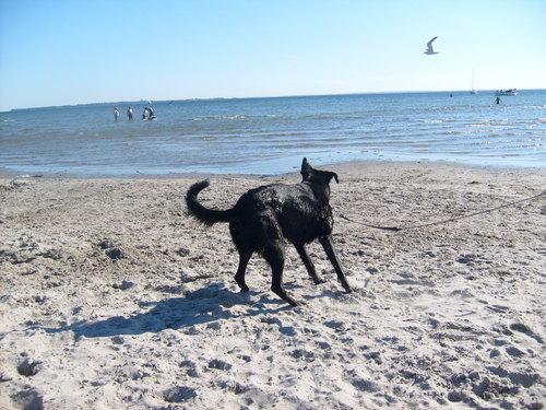 Alsatian on the 海滩