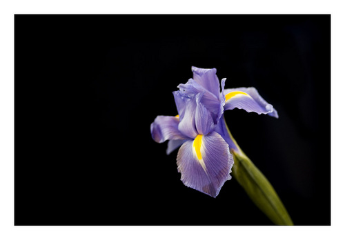 Фото Обои probably containing a hippeastrum, a beardless iris, and a camellia titled photo's