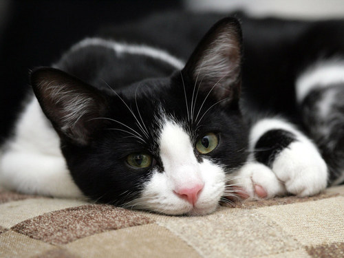 Black-white cat.