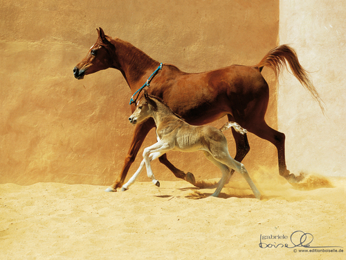 cavalli wallpaper entitled Horse wallpaper