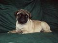pug - pugs photo