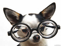 Chihuahua in Glasses - animal-humor wallpaper