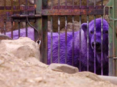Purple Polar oso, oso de