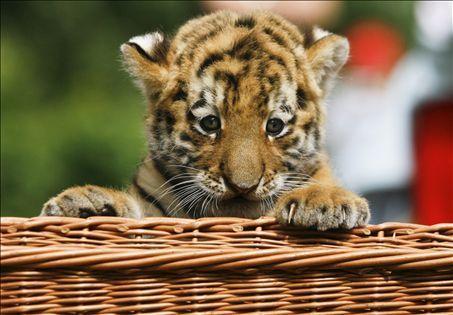 Baby siberian tiger wallpaper - photo#27