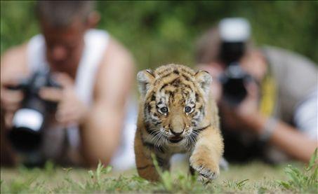tigerjunges, tiger cub