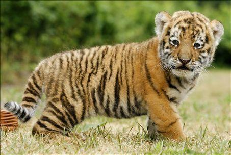 bengal tiger wallpaper free download