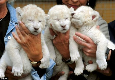 White lion cubs - lions Photo