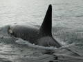 killer whale001
