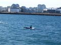 orca...