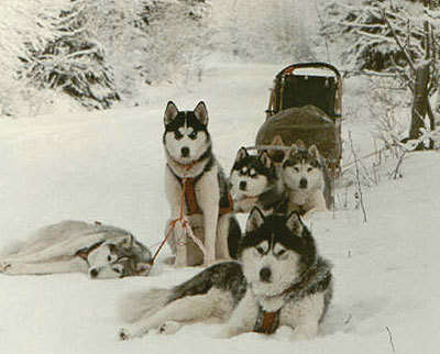 Siberian Huskies wallpaper containing a musher and a sled dog titled Huskys,huskys