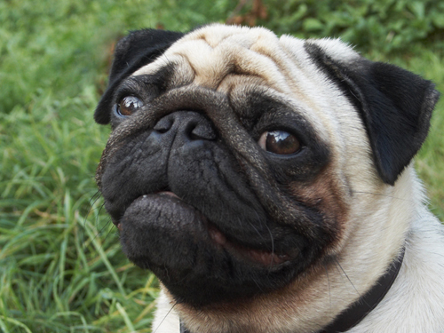 cute pics of pugs