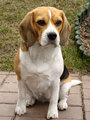 Ashley - beagles photo