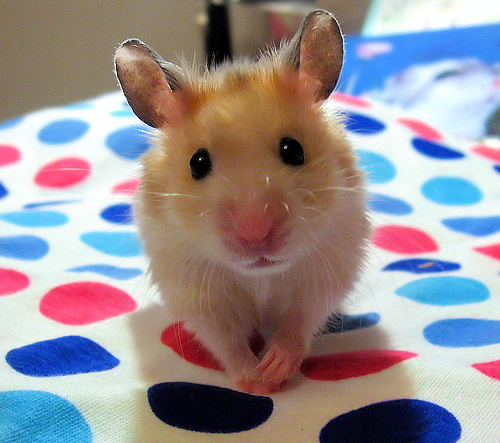 Hamsters wallpaper probably with a hamster entitled Cutie Hamster