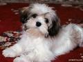 Lhasa Puppy