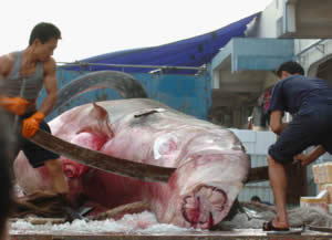 Against Animal Cruelty! wolpeyper possibly containing an abattoir called Poor, poor sharks X'[~~!!!