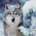 Wolf in the Snow - wolves photo