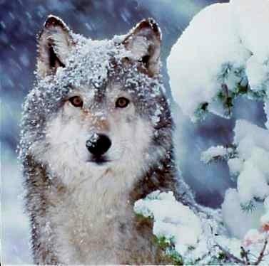 Wolves snow