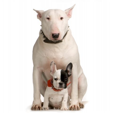 English on Bull Terrier   English Bull Terriers Photo  2108316    Fanpop Fanclubs