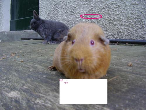 Guinea Pigs wallpaper titled candyxxxx