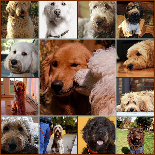 goldendoodle collage