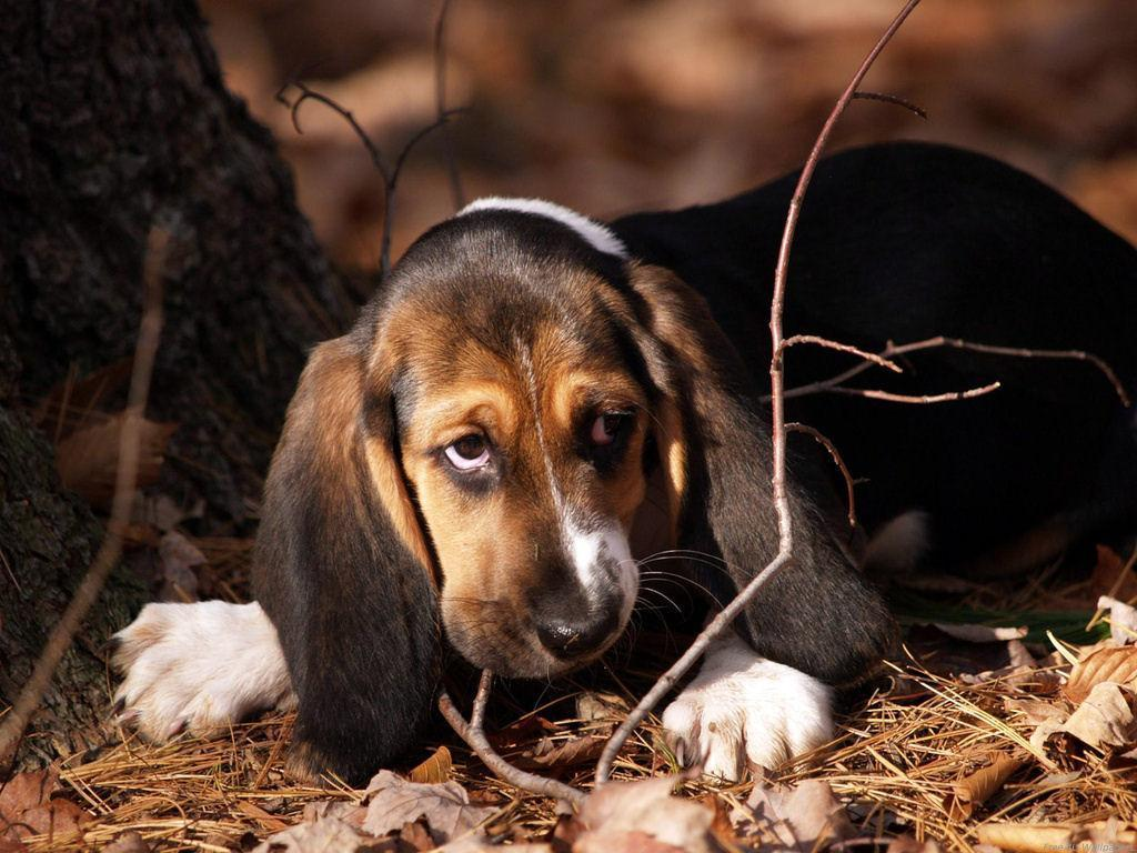 domestic 动物 images beagle puppy hd wallpaper and background ph