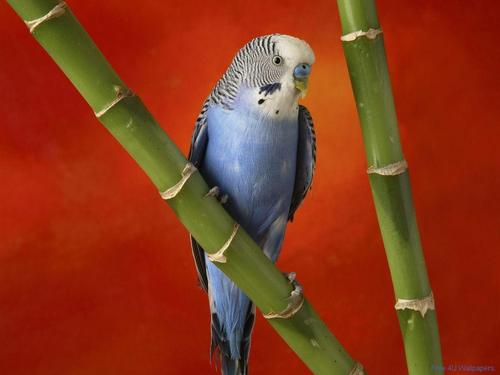 Blue And White Budgie - domestic-animals Wallpaper