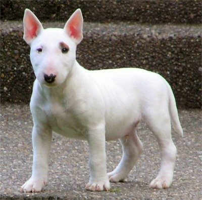 English bull terrier puppy - domestic-animals Photo