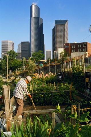 Mature Man Gardening in Allotment