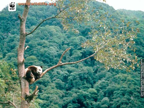 Panda w'paper