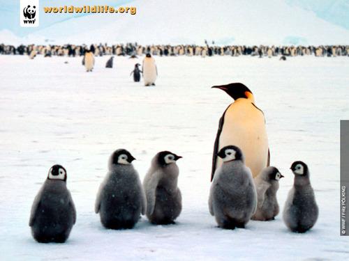 penguin, auk family