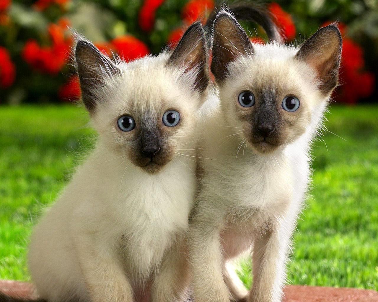 Domestic animals siamese kittens