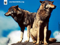 Wolves - the-animal-kingdom photo