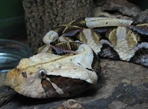 Gaboon adder, viper