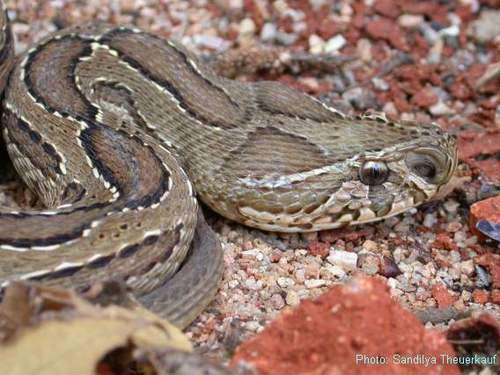 Russell's adder, viper