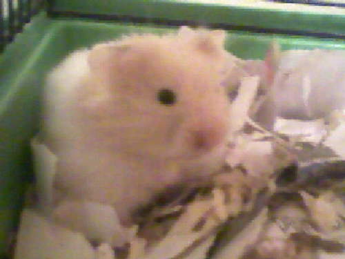 Hamsters wallpaper called Syrian Hamster