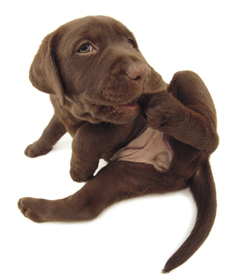 cokelat labrador