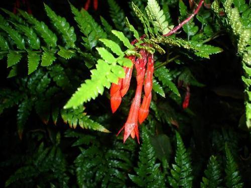 firecracker fuschia, फ़ूशिया