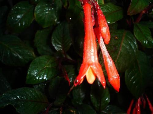 firecracker fuschia - gardening Photo