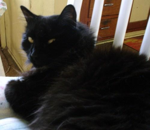 giant black cat
