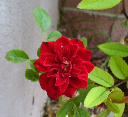 Red Hintergrund with a camellia, a begonia, and a garden kapuzinerkresse called mini rose