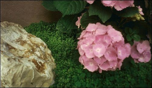 perfect hydrangea - gardening Photo
