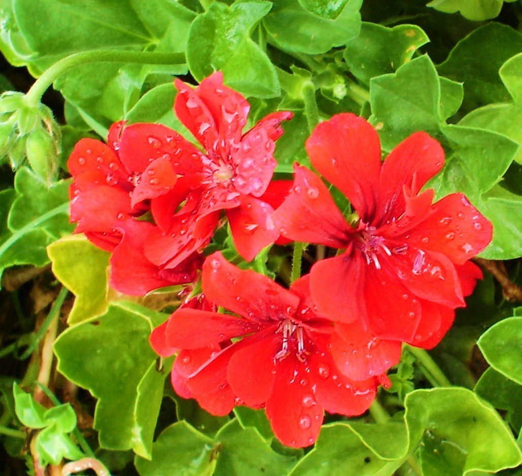 red geranium - Red Photo (2343165) - Fanpop