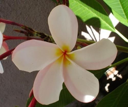 tropical flower - flowers Photo