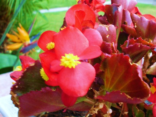 Red Hintergrund containing a begonia, a camellia, and a rose titled wax begonie