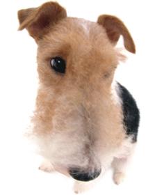 wire rubah, fox terrier