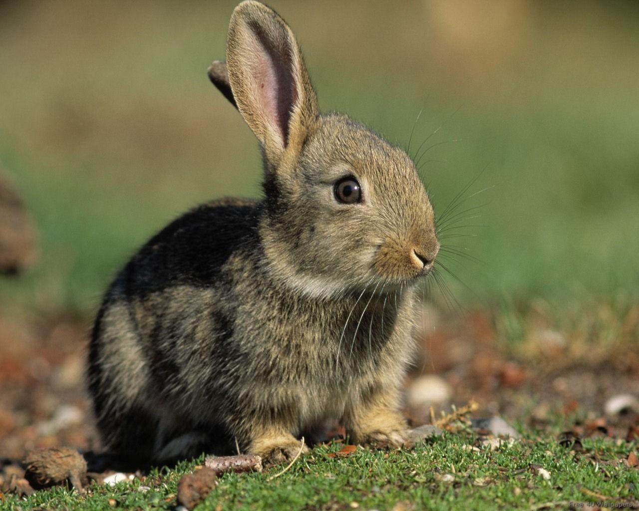 Domestic animals bunny